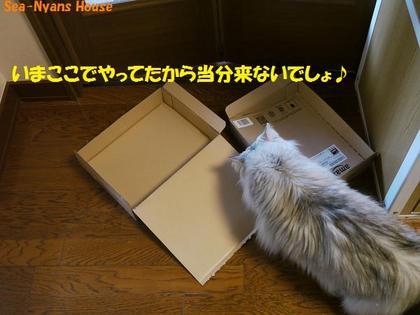 アッシュは仔ニャンズが居なくなった箱へ.jpg